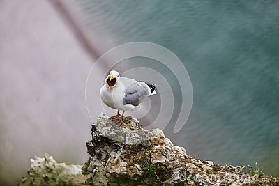 A gaivota de arenques européia nos penhascos de Etretat
