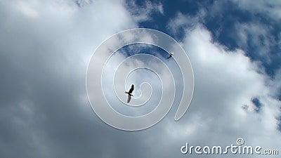 Gaivotas que voam nas nuvens Pássaro celestial, gaivota de mar, pássaro de A em voo vídeos de arquivo