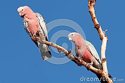 Galah Cockatoos, Australia