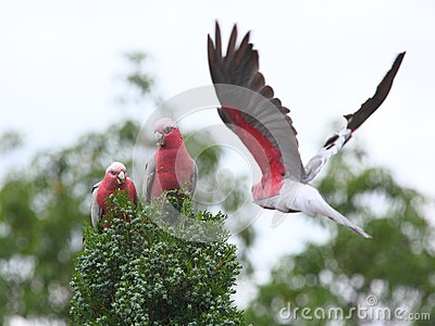 Galah cockatoos in tree