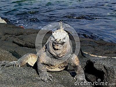 Galapagoes marine iguana