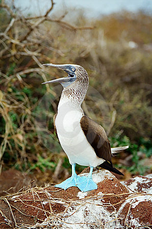 Galapagos Blue Footed Booby calling for a mate