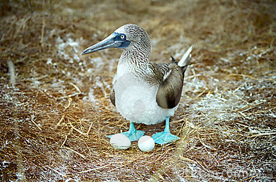 Galapagos Blue Footed Booby and eggs