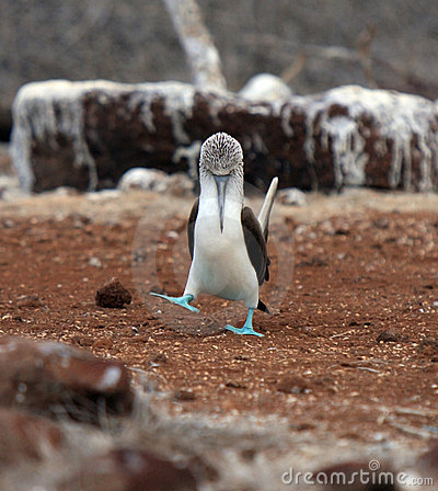 Free Galapagos Blue Footed Booby Eyes Off Mate Royalty Free Stock Images - 12616059