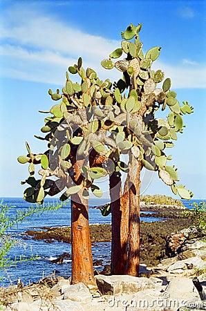 Galapagos Cactus tree
