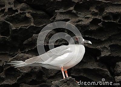 Galapagos Gull on Lava