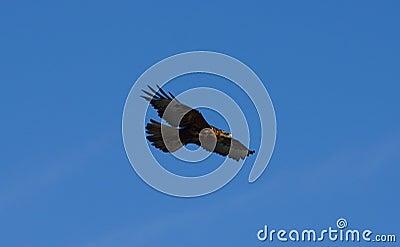 Galapagos Hawk Soars over Espanola Island