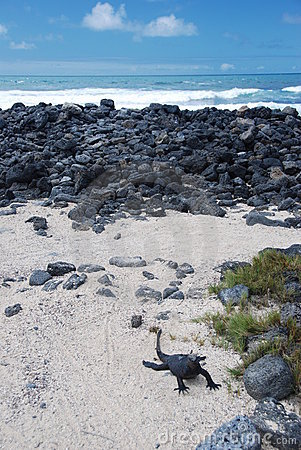 Galapagos Iguana on a beach