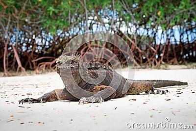 Galapagos iguana on the beach