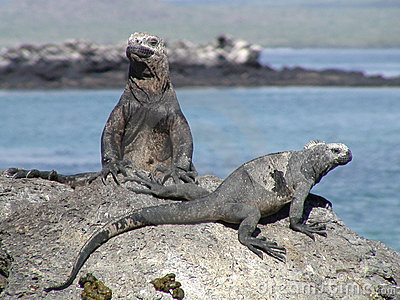 Galapagos Iguanas Sunbathing