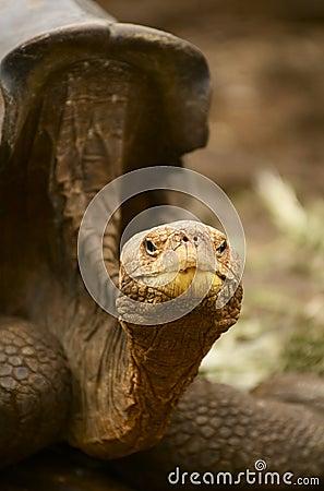 Free Galapagos Island Giant Tortoise - Geochelone Nigra Stock Photos - 14356323