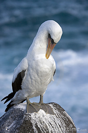Free Galapagos Islands - Nazca Or Masked Booby Royalty Free Stock Photos - 18721818