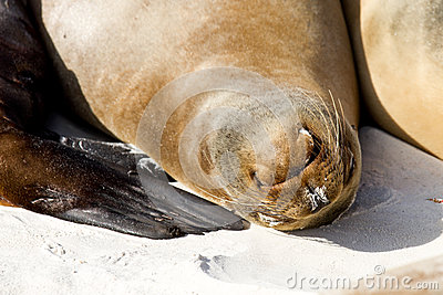 Galapagos Islands Sea Lion