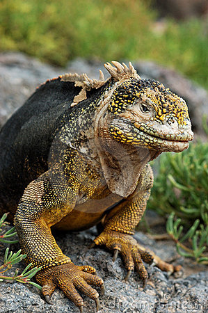 Free Galapagos Land Iguana Royalty Free Stock Photo - 476305
