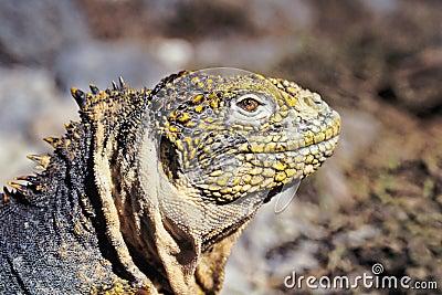 Galapagos land iguana, Galapagos Islands, Ecuador