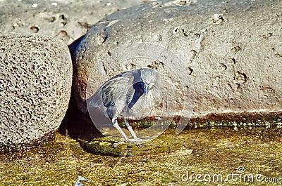 Galapagos Lava Heron