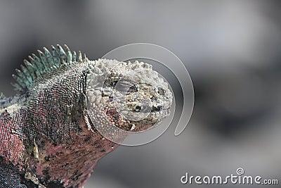Galapagos Marine Iguana close up
