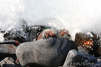 Galapagos Marine Iguana and rough seas