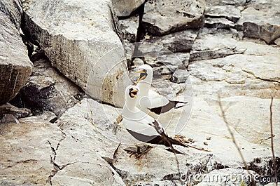 Galapagos Masked Booby