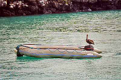Galapagos pelican on boat