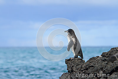 Galapagos Penguin looking at the ocean