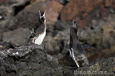 Galapagos Penguin Mating Dance