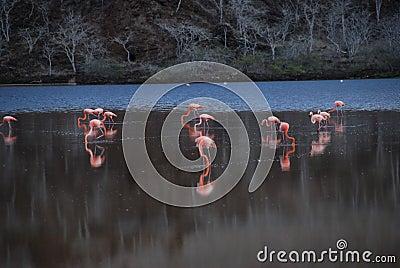 Galapagos pink flamingos