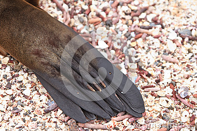 Galapagos sea lion close up, paw