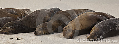 Galapagos Sea Lion Pod of 6 Resting