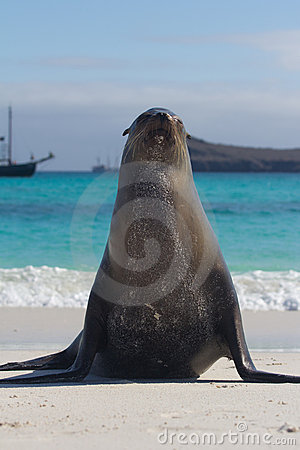 Galapagos sea lion pose