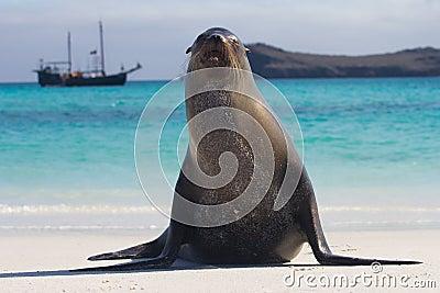 Galapagos sea lion pose wide