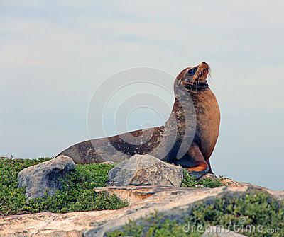 Galapagos Sea Lion