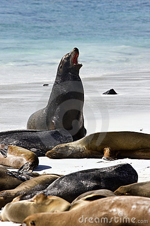 Galapagos Sea lions - Galapagos Islands