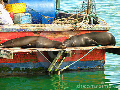 Galapagos sea lions rest on fishing boat