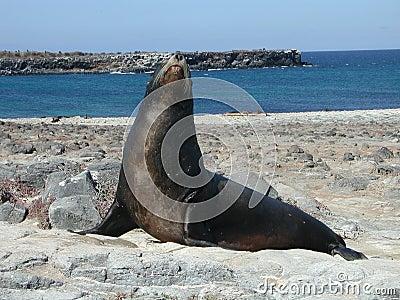 A Galapagos Sealion