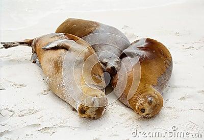 Galapagos seals cuddling