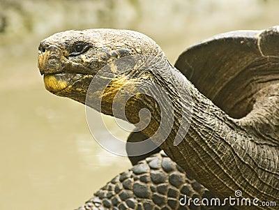 Galapagos Tortoise Profile