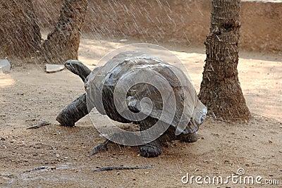 Galapagos Tortoise in rain