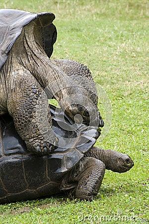 Galapagos  Tortoise - turtles
