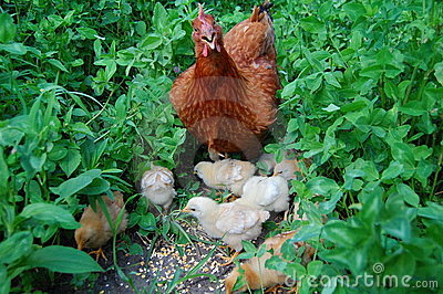 Galinha e galinhas pequenas