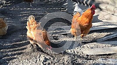 Galinhas e galos caminham no pátio na fazenda filme