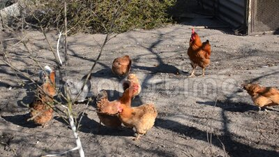 Galinhas e galos caminham no pátio na fazenda video estoque