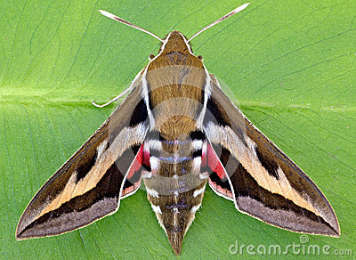 Galium Sphinx Moth