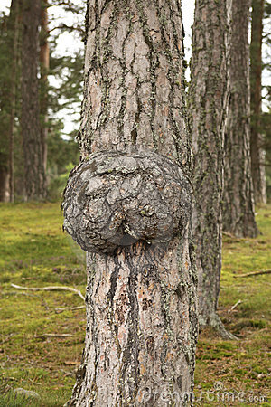 Free Gall On Trunk Of Tree Royalty Free Stock Photo - 22975265