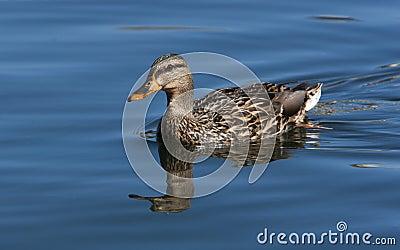Gallina del pato del pato silvestre