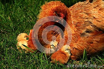 Gallina y polluelos 2 de Araucana