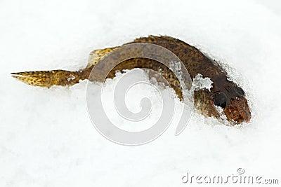 Gallineta de collar en la nieve