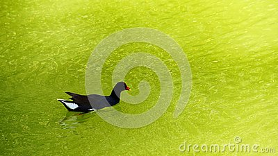 Gallinule swimming in green water