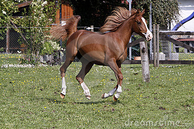 Galloping Arabian stallion