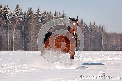 Galloping bay horse